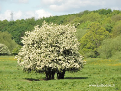 Hawthorn in blossom, near Tadcaster, North Yorkshire