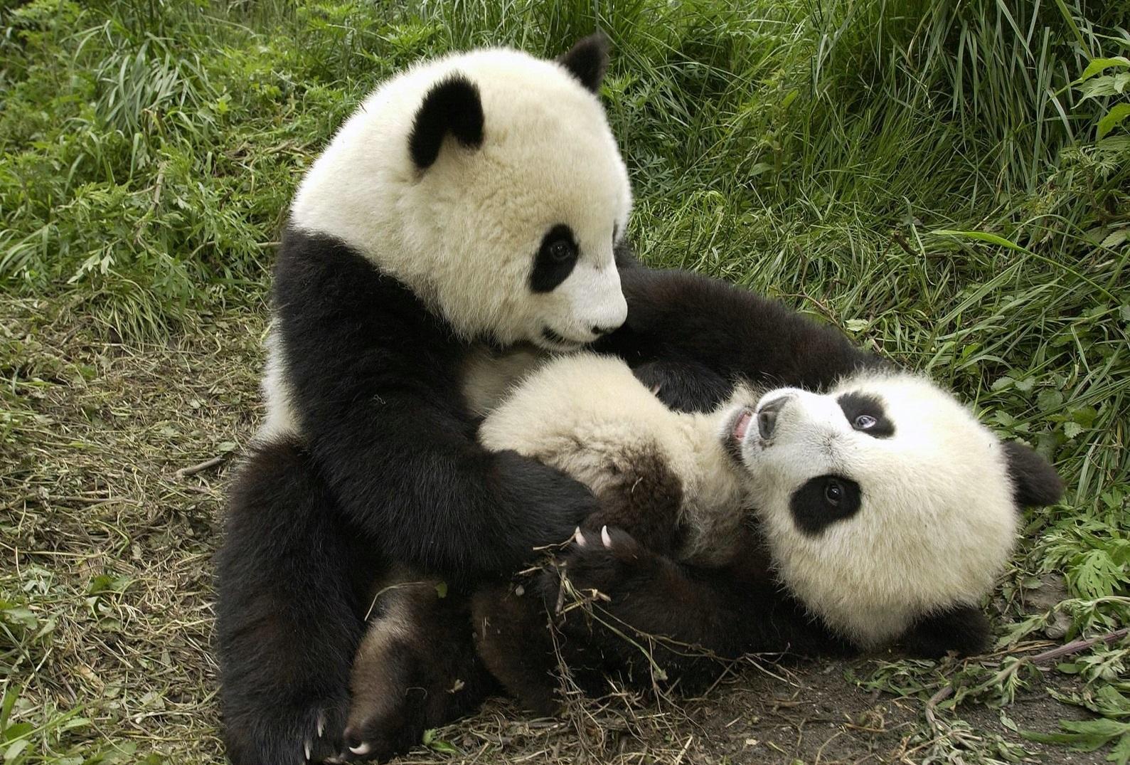 Populares Datos que no sabías sobre los Osos Pandas: Enemigos de los pandas. LH11