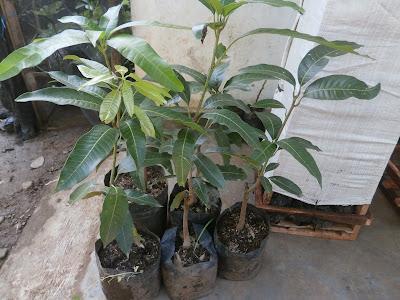 bibit mangga unggul mangga yuwen unggul tanaman mangga yuwen pohon mangga yuwen budidaya tanaman mangga pemeliharaan tanaman mangga yuwen ciri ciri mangga yuwen manfaat mangga yuwen bertanam mangga yuwen