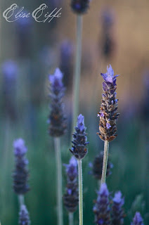 Lavender Photograph in Burra Morning Sun Glow Bed & Breakfast