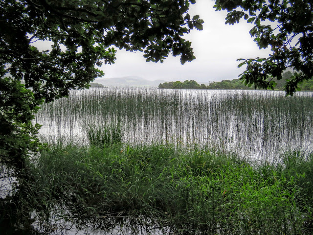 Grass growing from Lough Gill in County Sligo, Ireland