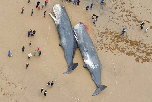 Sperm Whales Found Dead In Germany, Stomachs FULL Of Plastic And Car Parts