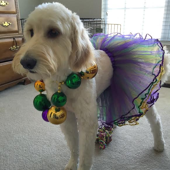 Mardi Gras Goldendoodle