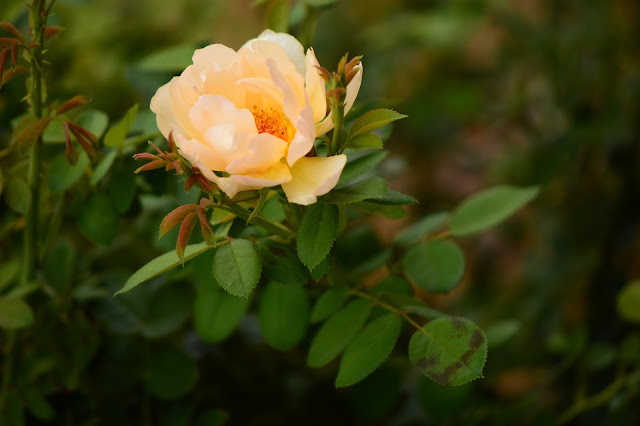 "rose ""Wollerton Old Hall"", david austin roses, amy myers photography, rose, english rose, small sunny garden"