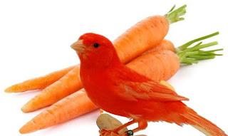 manfaat wortel untuk pakan kenari