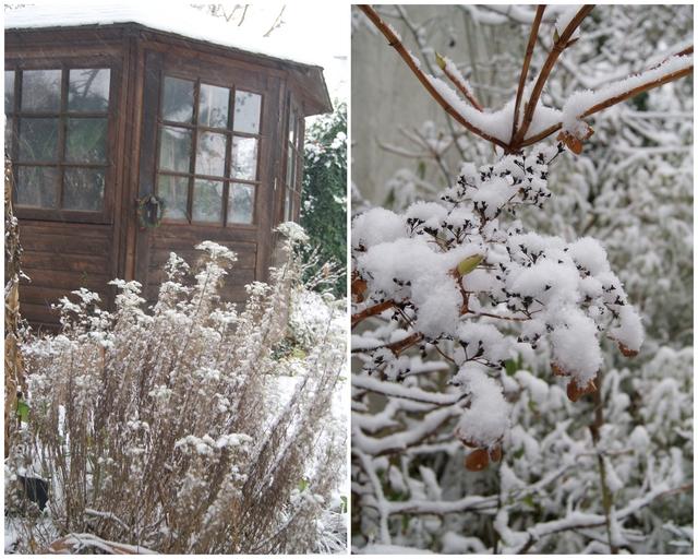 Schnee auf Colastrauch und Hortensie
