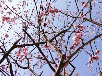 山田池公園 梅林の梅
