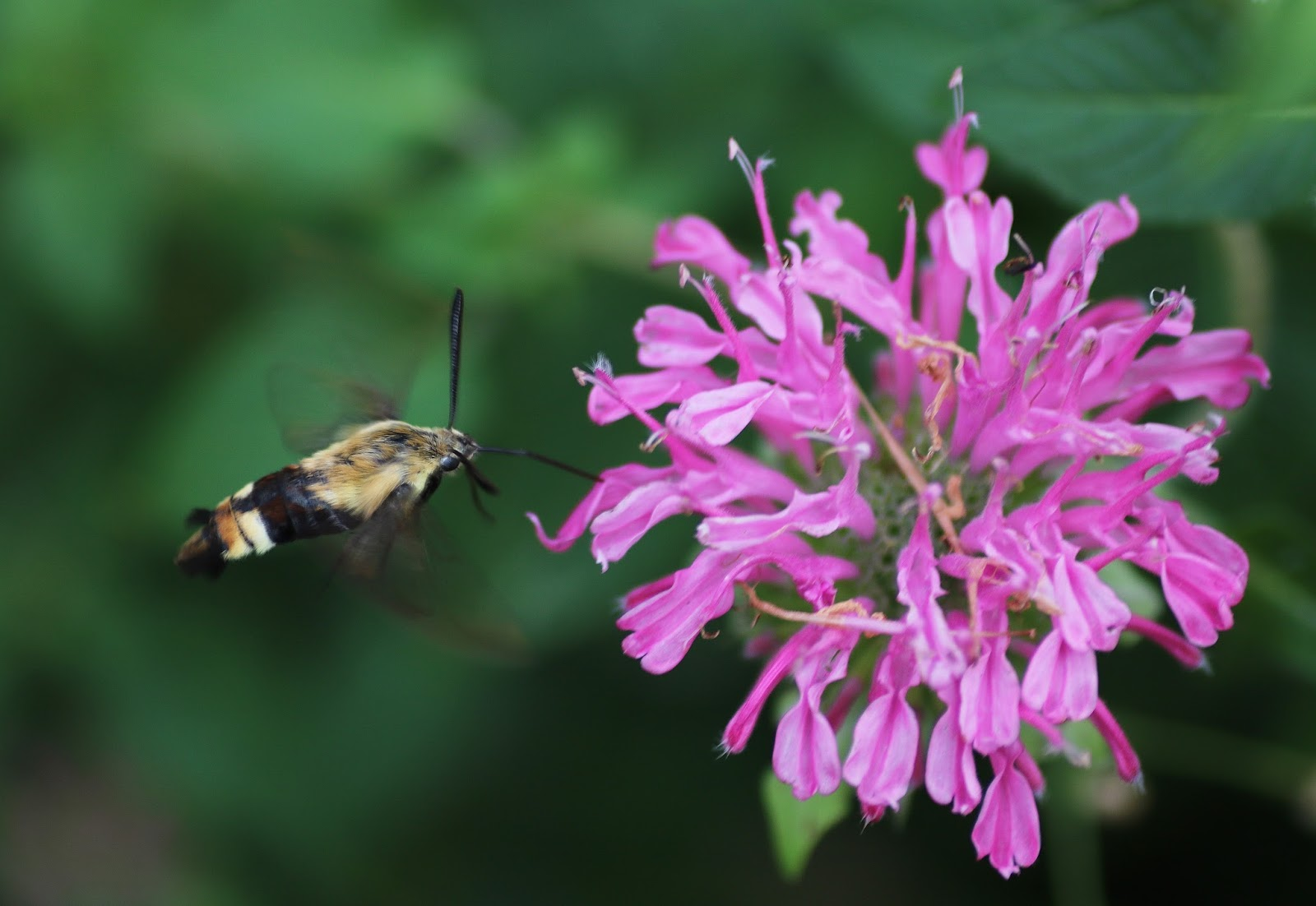 mobugs snowberry clearwing moth
