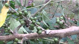 gambar buah makasar