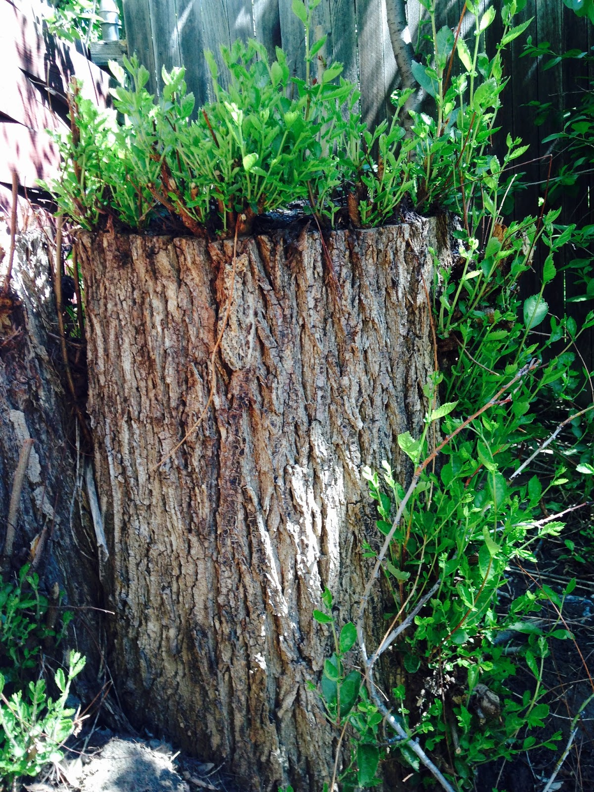 JeffCo Gardener: What to do with a Tree Stump? by Donna Duffy