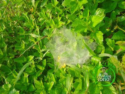 FOTO : Ramat lancah / jaring laba - Laba Embun Untuk Menyembuhkan Batuk