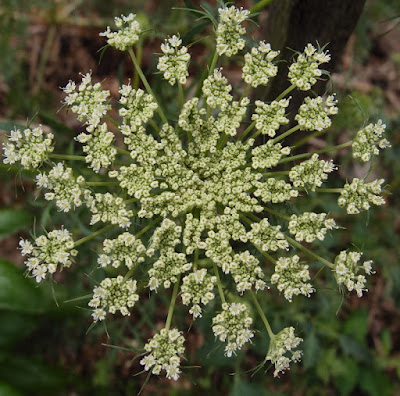 eight acres: how to grow and use dill