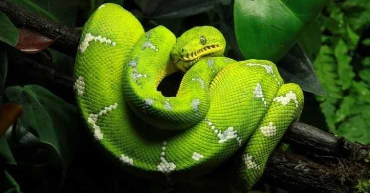 Yeşil ağaç pitonu, pythonidae familyasındandır ve son derece zehirlidir.