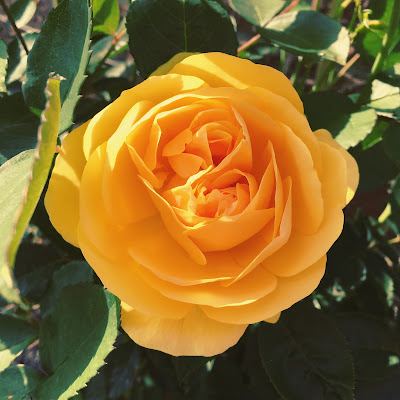'Graham Thomas' climbing yellow rose from David Austin Roses