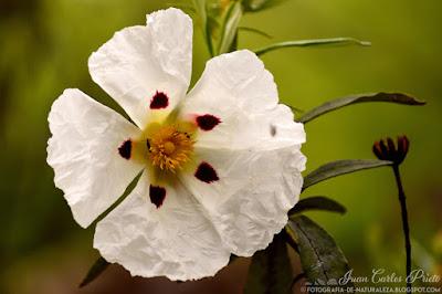 Cistus Ladaniferjara - Jara Pringosa (fotografia-de-naturaleza.blogspot.com)