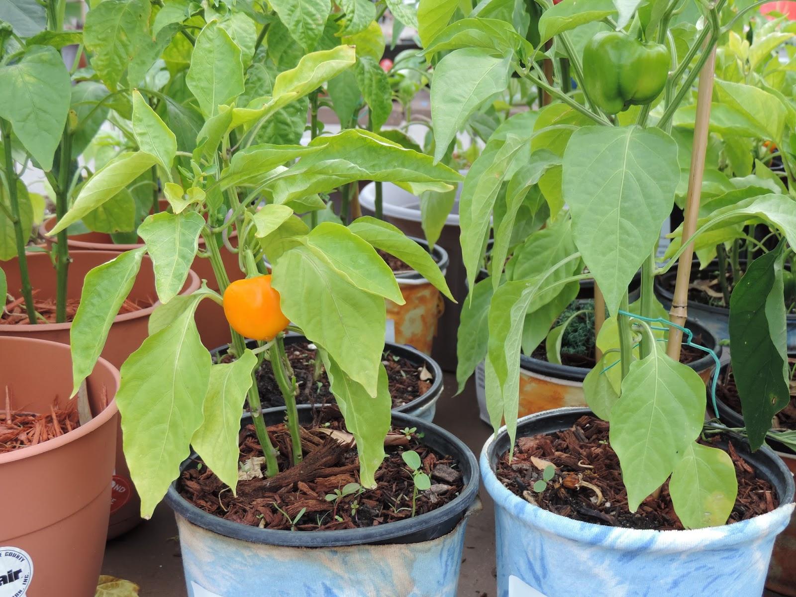 Bonao internacional vegetales que cualquiera puede for Cultivar vegetales en casa