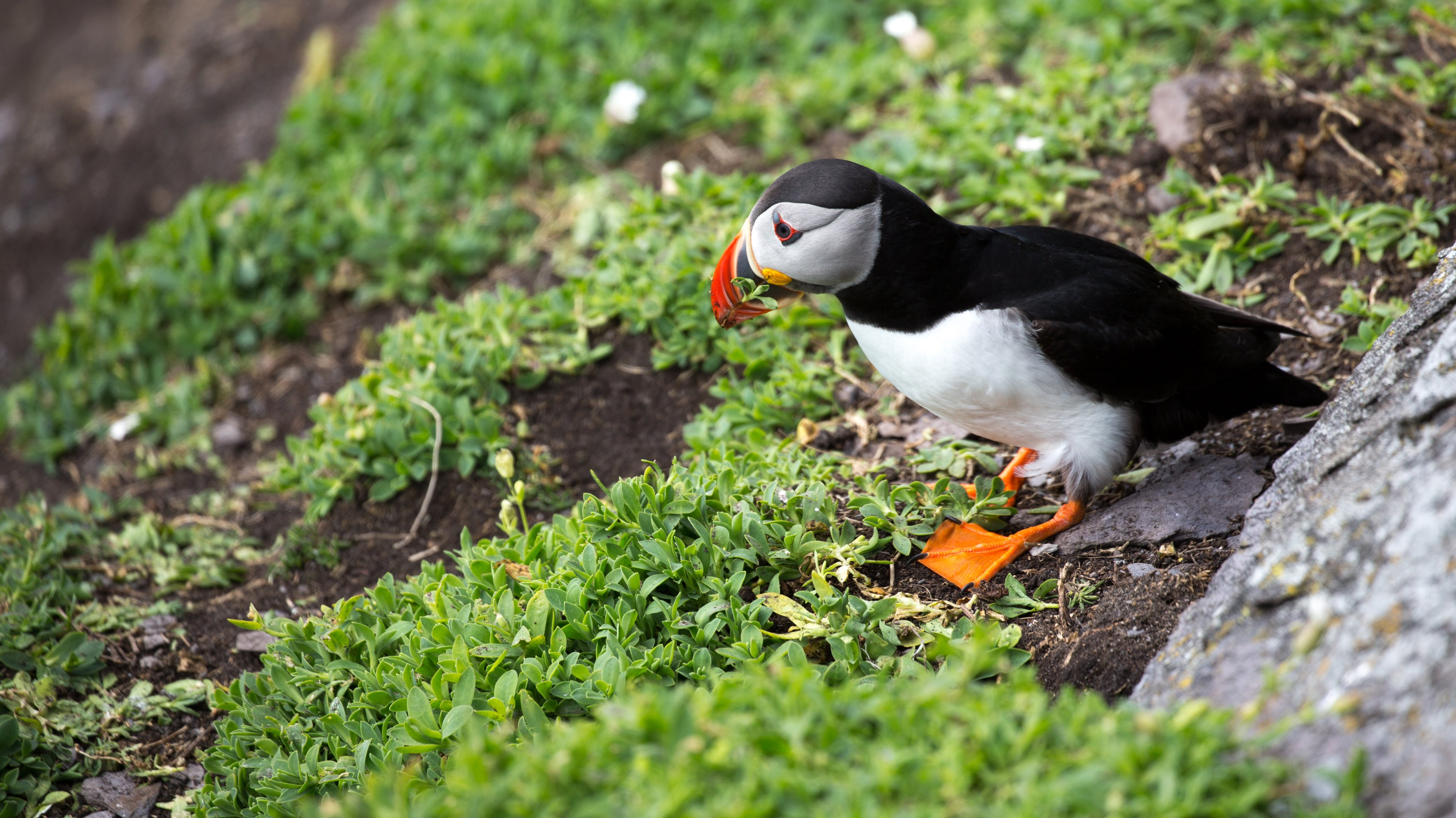 Puffin In Ireland Wallpapers &183 4K HD Desktop Backgrounds Phone Images