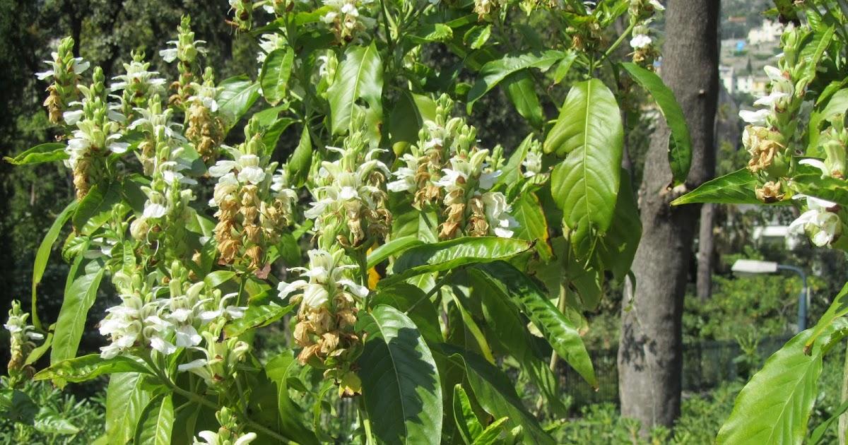 Justicia adhatoda una pianta officinale ancora poco for Giardino officinale