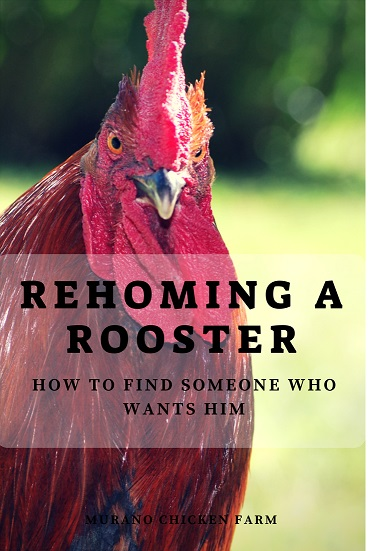 Finding a new home for a rooster