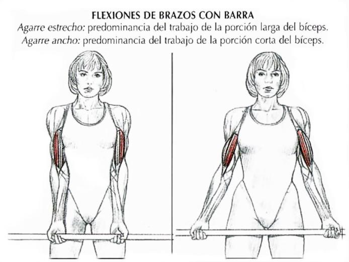 variantes del agarre en el curl de bíceps, con agarre ancho se logra incidir mayormente en la porción corta del bíceps, en contra parte con un agarre estrecho se logra un mayor estímulo de la porción larga de bíceps