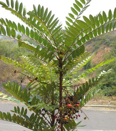 Cây và quả Bách Bệnh - Eurycoma longifolia - Nguyên liệu làm thuốc Chữa Bệnh Tiêu Hóa