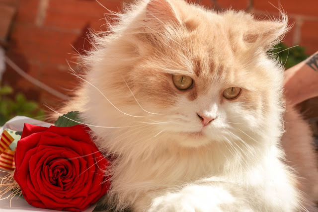 White And Brown Persian Cat Beside Red Rose HD Wallpaper