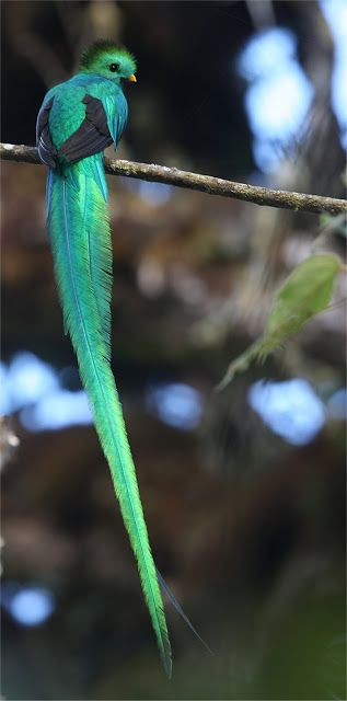 Resplendent Quetzal (Pharomachrus mocinno) | Our World's 10 Beautiful and Colorful Birds