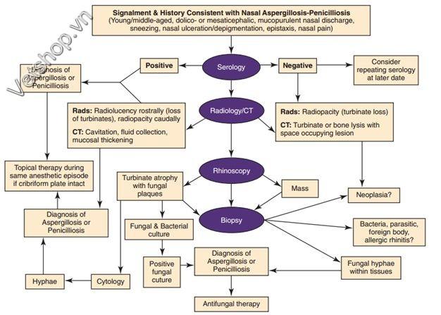 Hình 5: Sơ đồ chẩn đoán bệnh do nấm Aspergillus Và Penicillium