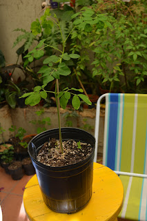 Moringa oleifera desde semilla