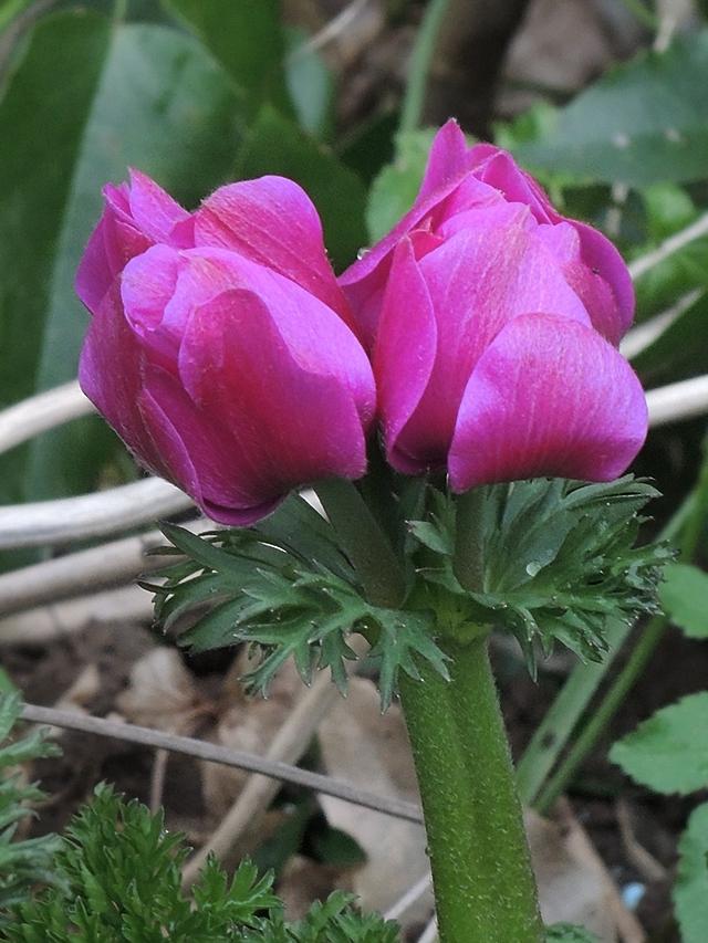 in mijn tuintje - anemonen