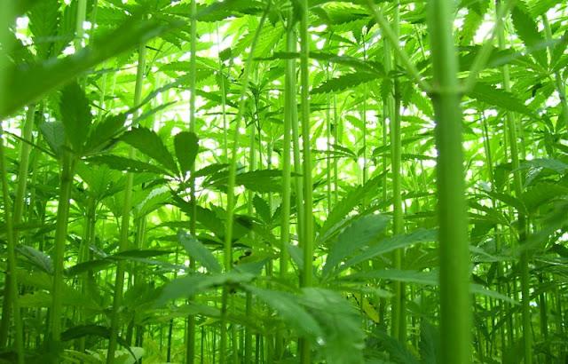 Plantação de cânhamo é super resistente, não é necessário usar nenhum fertilizante ou controle de pragas.