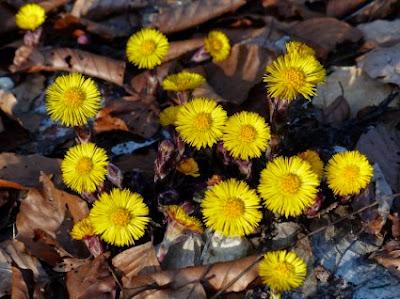 Βήχας και βότανα: tussilago farfara