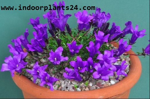 Campanulaceae house plant picture