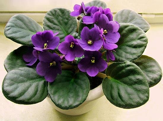 Hoa violet Châu Phi với sắc tím ngọt ngào