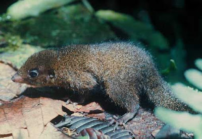 Golden bellied treeshrew