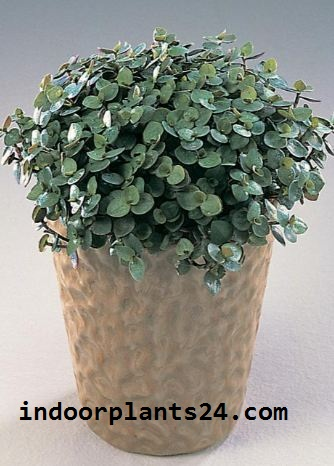 Callisia Repens indoor house plant picture