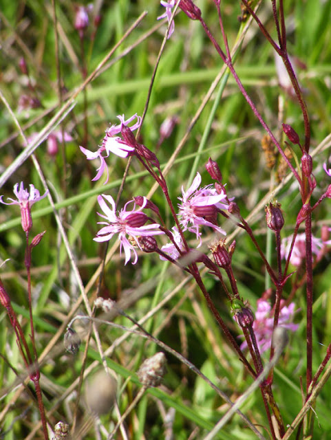 Ragged Robin Lychnis flos-cuculi.  Indre et Loire, France. Photographed by Susan Walter. Tour the Loire Valley with a classic car and a private guide.