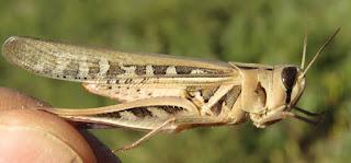 Rhammatocerus viatorius, Traveller Grasshopper