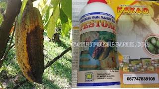 penyakit penyakit pada tanaman buah kakao dan cara mengatasinya