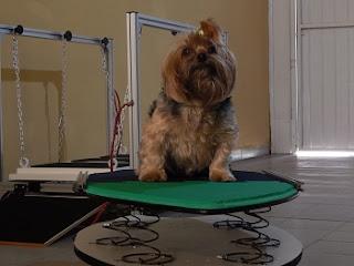 Degility exercício para cães musculatura