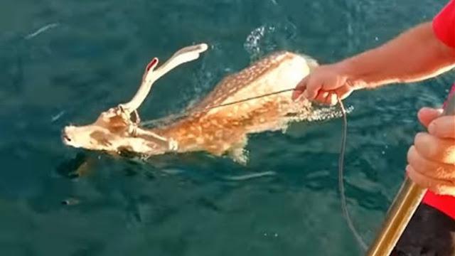 Απίστευτο: Πήγαν για ψάρεμα και έπιασαν ελάφι (βίντεο)
