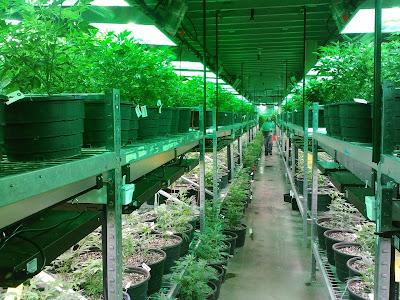 Marijuana in USA