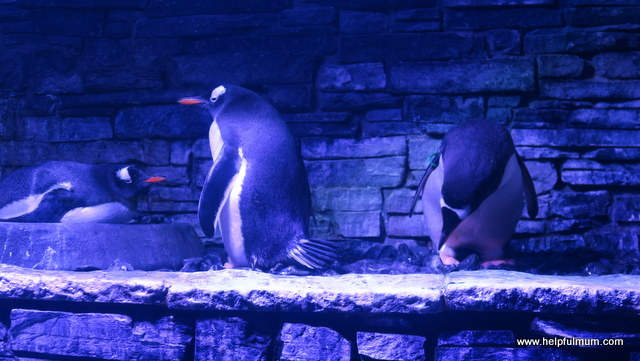 Gentoo penguins The Deep Hull