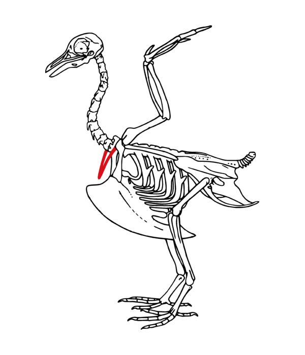 Turkey Bone Diagram Electrical Work Wiring Diagram