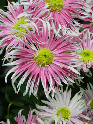 Purple and white single mums at the Allan Gardens Conservatory 2015 Chrysanthemum Show by garden muses-not another Toronto gardening blog