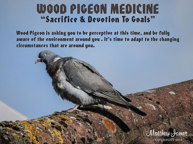 Wood Pigeon Totem Bird of the Day