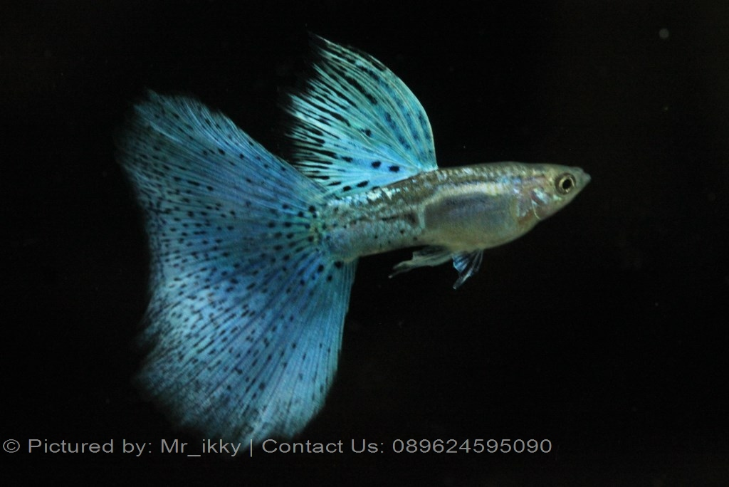Guppy fish breeder for Guppy fish for sale