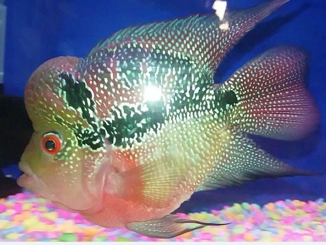 Gambar dan Ikan Louhan