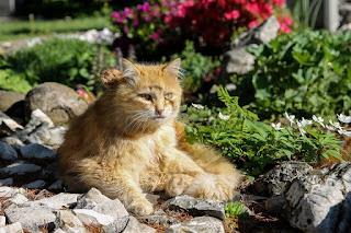 ginger cat sitting on path in green garden in summer