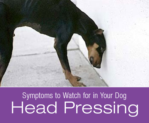 Symptoms to Watch for in Your Dog: Head Pressing